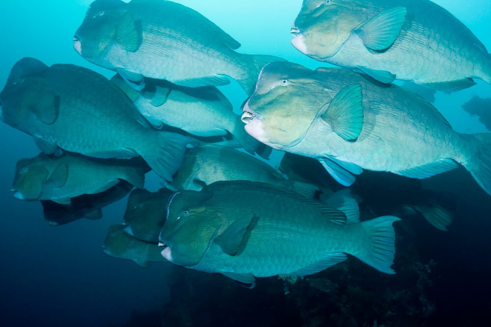 A picture of several Bumphead Parrotfish swimming in the ocean.