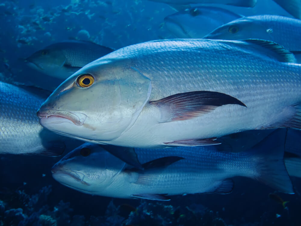 A picture of a bohar snapper fish up close with several other fish behind him.