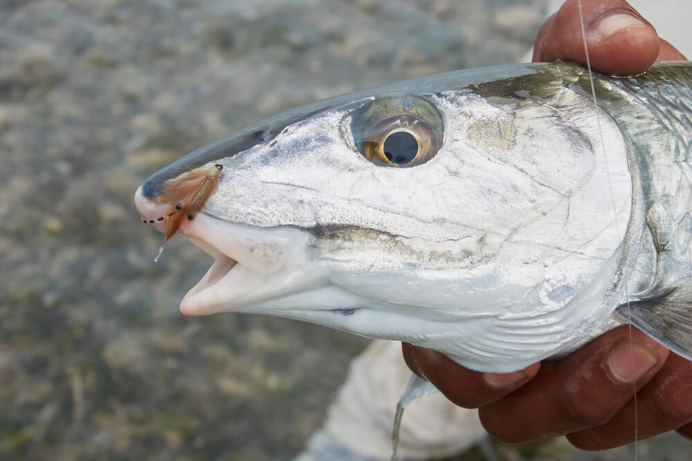 A bonefish caught while fly fishing with the fly hook still in his mouth. A hand holding the fish.