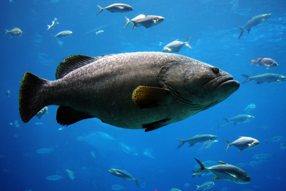 A picture of a large grouper front and center with several other fish swimming in the background.