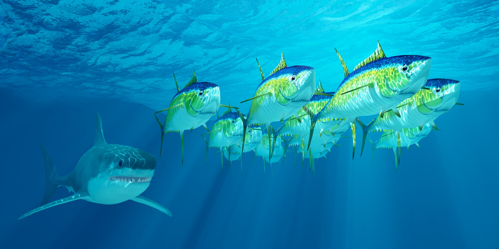 A picture of several yellowfin tuna swimming away from a shark.