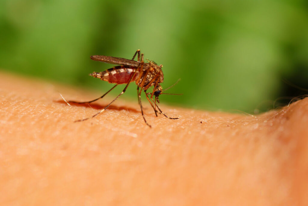A closeup photograph of a mosquito about to bite a person's arm