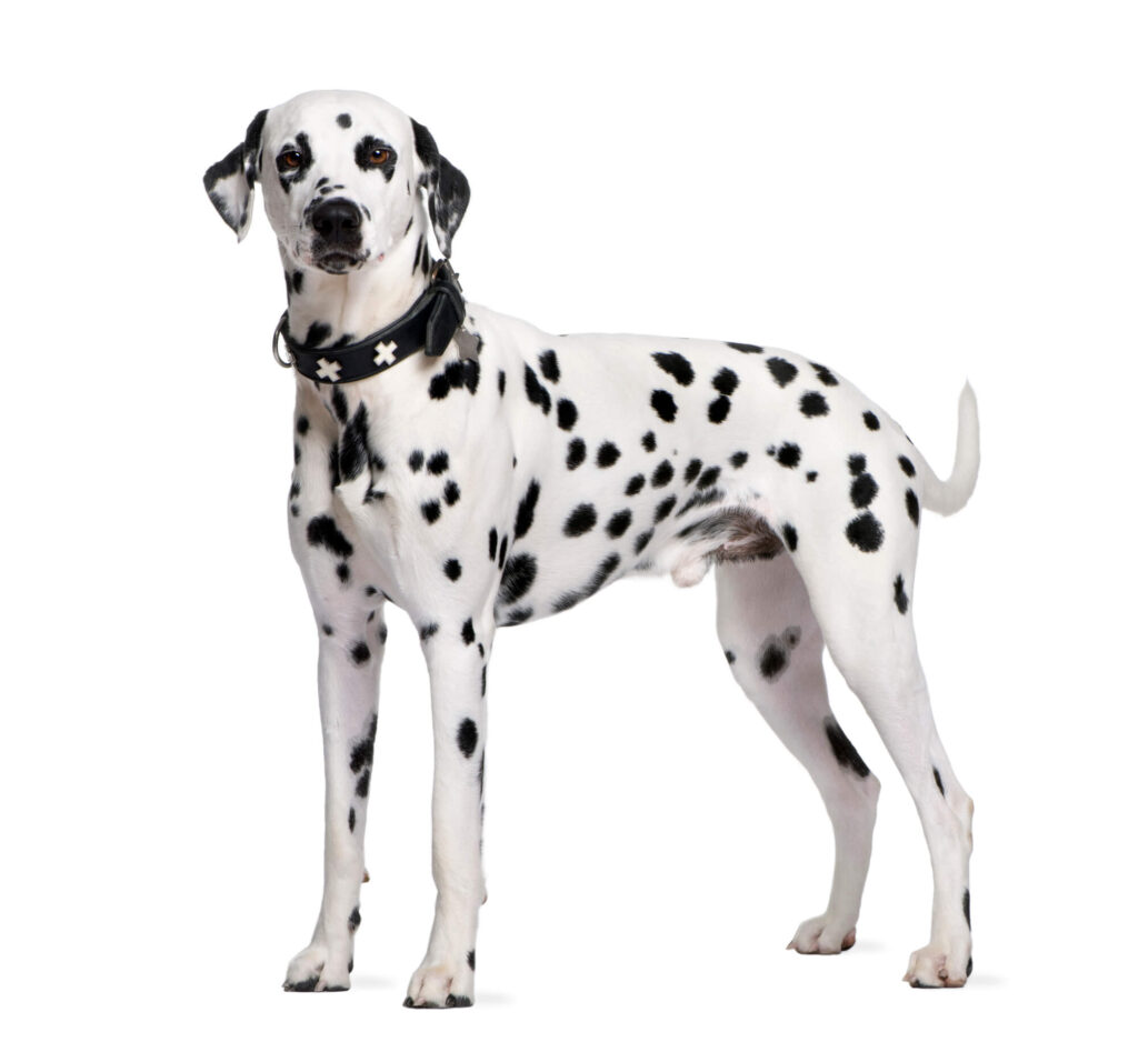 A photograph of a Dalmatian, a large dog with black and white spots