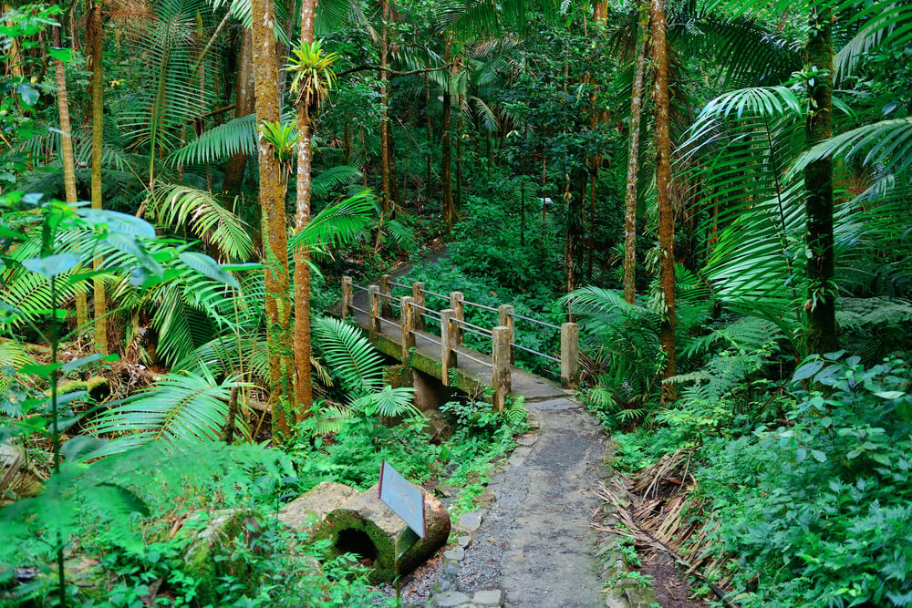 A photo of a lush forest in Puerto Rico. It shows a dense forest filled with bright green shrubs and palm trees