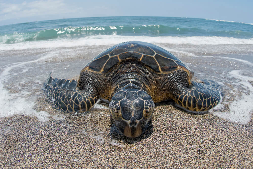 A picture of a large green turtle on a beach in Kailua-Kona, Hawaii