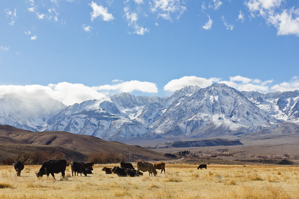 A photo of the Sierra Nevada mountains which divide California and Nevada. It shows a huge snow capped mountain range with a grassy plain and several cows in the foreground