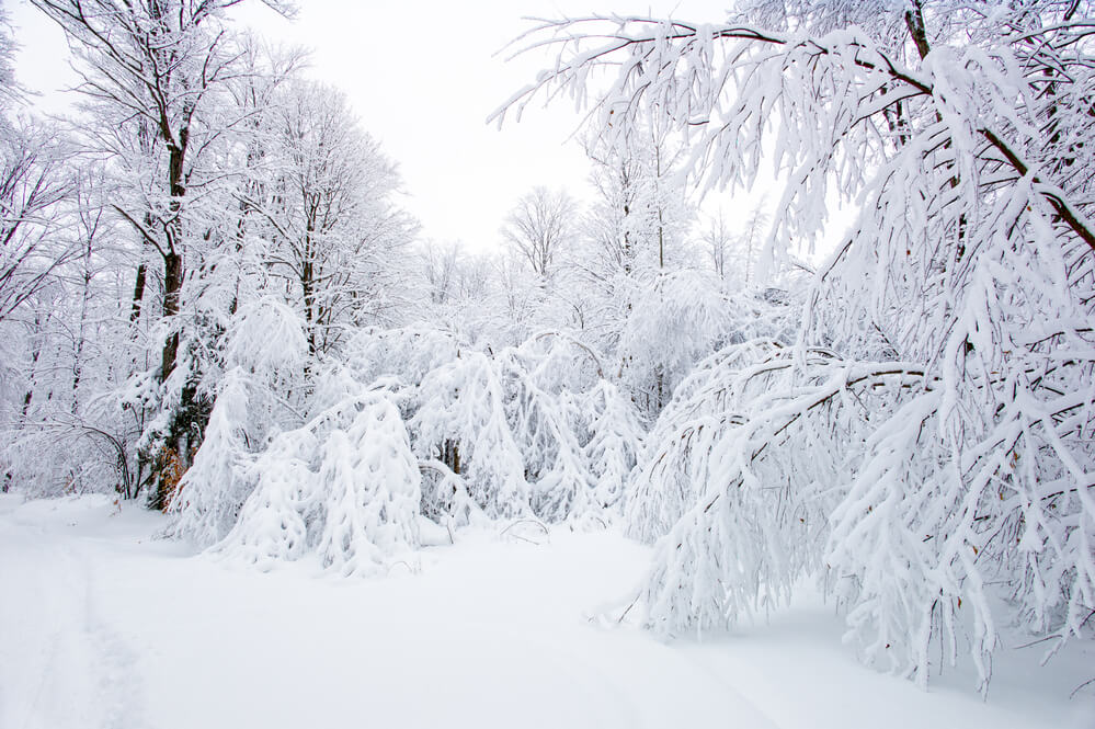 A photo of a forest, covered in snow, trees bending due to the weight of the snow.