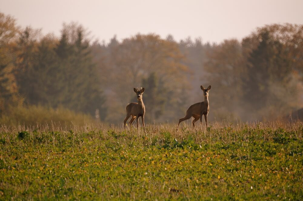 A photo of two deer standing in the middle of a field. Vegetation can clearly be seen in the foreground. Trees in the background are blurry.