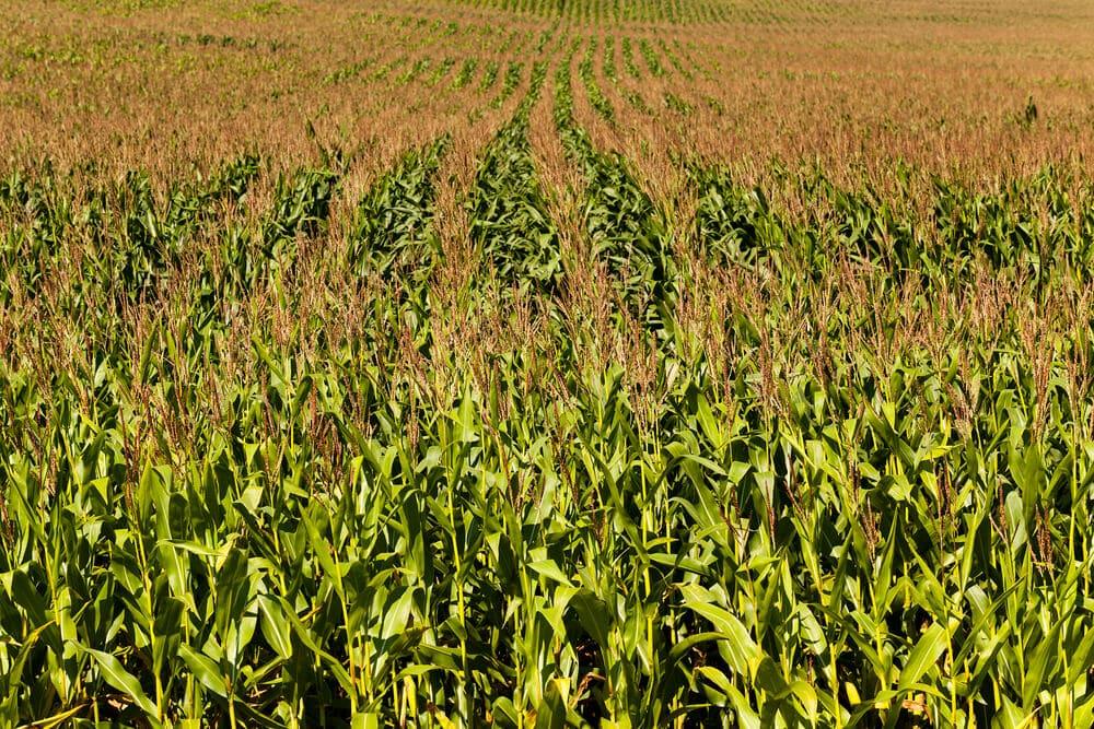 A corn field. Lots of corn